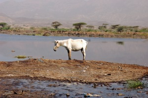 Horse by the rode outside Awash Game Reserve, Ethiopia